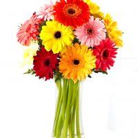 12 Gerber daisy in a clear vase